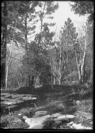 Pines & Aspens