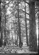 Ponderosa pine forest