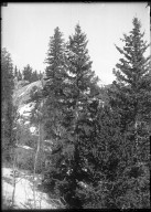 Blue Spruce in Park Co.