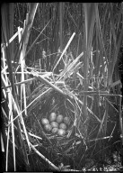 Nest & eggs of Virginia rail
