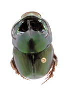 Proagoderus sp