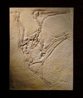 Pterosaur skeleton