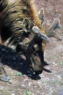 Roosevelt Elk