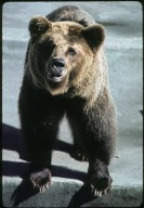 Brown, or Grizzly, Bear