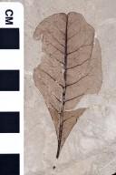Leguminosites lesquereuxiana