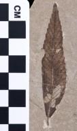 Cedrelospermum nervosum