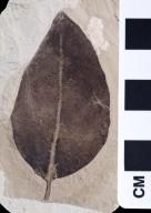 Magnoliopsida