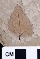 Distylium eocenica