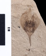 Fossil flower, PC035