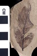 PC050 - leaf