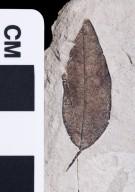 PC074 - leaf