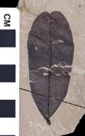 PC055 - leaf