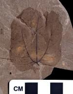PC137 - leaf
