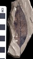 PC095 - leaf