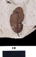 PC106 - leaf