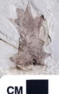 PC103 - leaf
