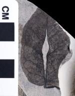 PC239 - leaf