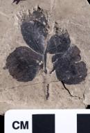 PC153 - leaf