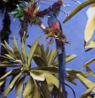 Resplendent Quetzal in Tree