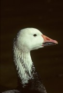 Snow Goose, Blue Phase