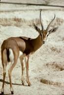 Pelzeln's Gazelle