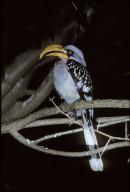 Northern Yellow-billed Hornbill