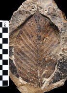 Fossil Leaf, Winged Seed