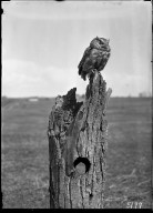 Screech owl on stump