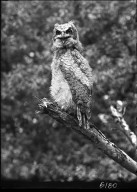 Young Great Horned owl on stump