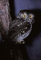Easterm Screech Owl