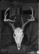 Louisiana Marsh Deer