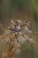 Fishing spider (Pisauridae)