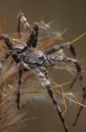 Fishing spider (Pisauridae)