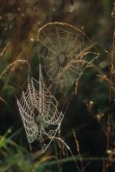 Webs of Two orb weaver Spiders (Araneidae)