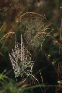 Webs of Two orb weaver Spiders (Araneidae)