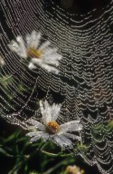 orb weaver Spider Web (Araneidae)