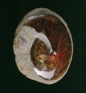 Fossil heteromorph ammonite
