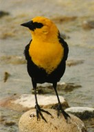 Close up of yellow headed black bird