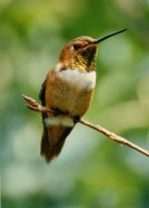 Close up of hummingbird sitting on branch