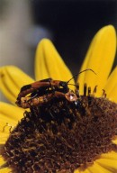 Close up of two unidentified insects on sunflower