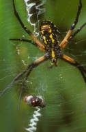 Black and yellow garden spider Argiope aurantia (Araneidae)