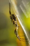 Black and yellow garden spider Argiope aurantia (Araneidae)