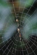 Web of Cyclosa sp (Araneidae)