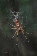 Golden silk orb weaver (Araneidae)