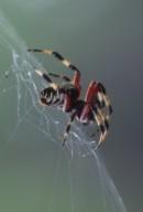 orb weaver spider (Araneidae)