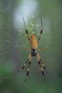 Golden Silk orb weaver spider Nephila clavipes (Nephilidae)
