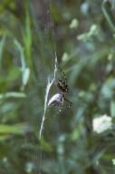 Argiope aurantia orb weaver spider (Araneidae)