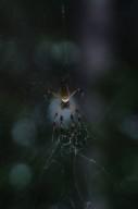 Nephila clavipes spider (Nephilidae)