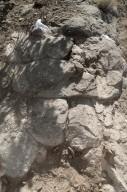 Part of a Hadrosaur (duck billed dinosaur) lies in situ.