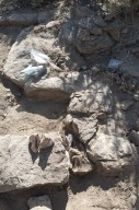 Part of a Hadrosaur (duck billed dinosaur) emerges from centuries of being hidden in the rock.